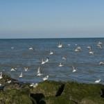 Les retardataires - Becasseaux sanderling -Cabourg