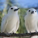 Goelettes blanches - Ile  aux cocos - Rodrigues