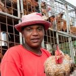 Blanc de poulet - Camion de collecte de volailles  - Rodrigues