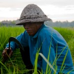 Recolte du riz  - Kerobokan - Bali