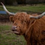 L'Ecosse a du piquant - Highland cow