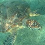 Tortue verte - Plage de Ngouja -  Mayotte