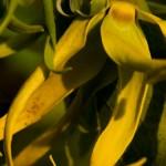 Ylang Ylang - Plantation Guerlain - Combani - Mayotte