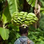 Regime en tete - Bananes - Passamainty  - Mayotte