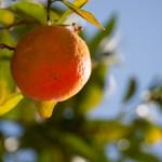 Clementine de  Kafountine - Senegal