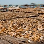 Sechage du poisson au soleil - Kafountine - Senegal