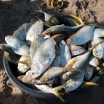 Poisson chalo -  Casamance - Senegal