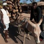 Ane a bois - Kafountine - Senegal