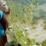 Pecheur au filet - Ile  aux cocos - Rodrigues