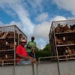 Achat volailles au producteur - Rodrigues