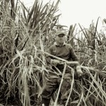 La coupe droite - Recolte canne a sucre - Le Tampon - La Reunion