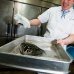 Espece dangereuse - Fugu pour la cuisine du Toba view hotel