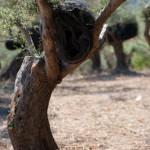 Noir filet roule dans les oliviers avant la recolte - Koufi