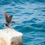 Cormoran de la mer - Crete