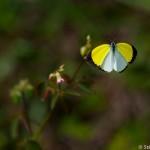 Papillon Eurema leuce - Guyane