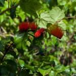 Colibri sur fleur Moyukiwa - Guyane