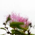 Pompon du marin - Calliandra surinamensis - Guyane
