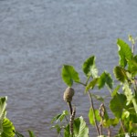 Mangrove de Guyane