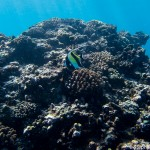 Poisson cocher sur le récif corallien